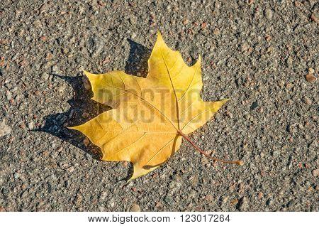 Maple leaf on asphalt road. Maple leaf on the ground. Glob on maple leaf.