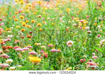 Helichrysum or Straw flower in outdoor garden.