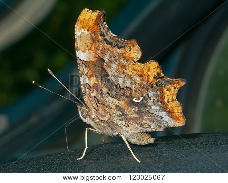 A close up of the butterfly (Polygonia C-album). Profile.