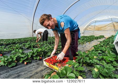 Farm Workers Pick And Package Strawberries