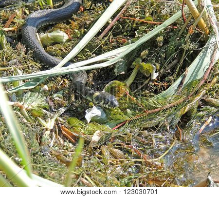 Grass snake (Natrix natrix) or ringed snake or water snake in a riverside grass