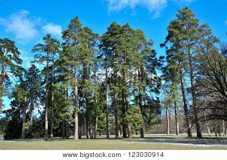 Winter day in the forest. Pine forest. The end of winter. Alexandria Park,city Bila Tserkva, Kiev region, Ukraine.