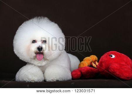 White Bichon Frise Dog