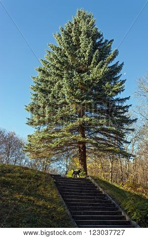Blue spruce against a beautiful sky in Kislovodsk,Caucasus.