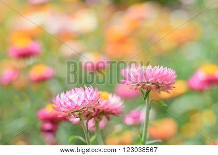 Helichrysum or Straw flower in outdoor garden. ** Note: Shallow depth of field