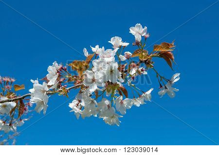 Prunus Rosaceae blossom on a blue background in spring time