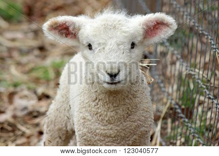 A cute white woolly newborn lamb in front view.