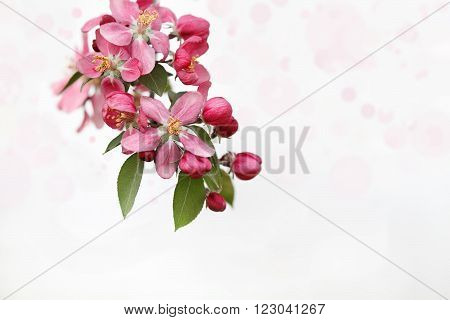 Cluster of Crab Apple Blossoms against a light background. Extreme shallow depth of field.