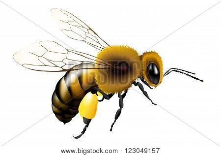 Vector illustration of bee with transparent wings for any background - isolated on white