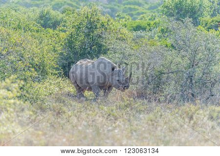 A Black Rhino Diceros bicornis hiding in shade between trees poster