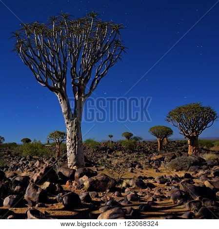 Night shot of the Mystical Quiver Tree Forest outside of Keetmanshoop Namibia under moon light at the stars night sky