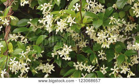 Jasmine Flower Blooms