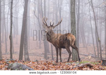 A lone deer in the woods in it's natural setting