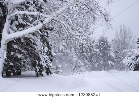 A birch tree, other trees, and a fence, beside a snow covered road, just after a blizzard.