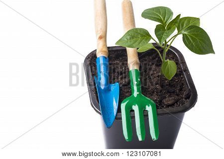 Young tomato growing in a pot and garden tools on a white background