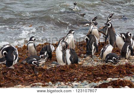 Magellanic Penguins (Spheniscus magellanicus) at the coast of Seno Otway, Chile