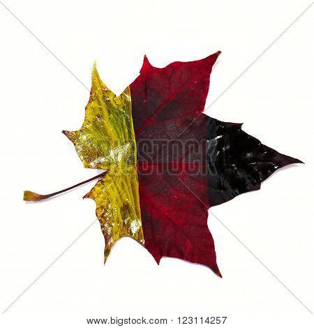 German Flag On A Maple Leaf