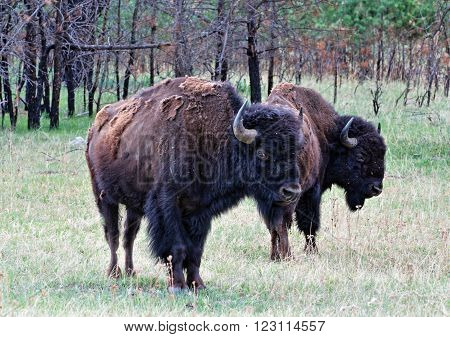 American Bison Buffalo Bulls in Wind Cave NP