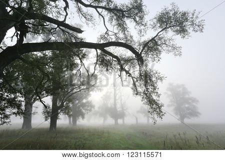 Thick Fog In An Oak Grove