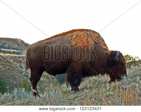 Bison Buffalo Bull in the North Unit of the Theodore Roosevelt National Park in the North Dakota Badlands USA
