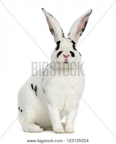 Rex Dalmatian Rabbit sitting, isolated on white