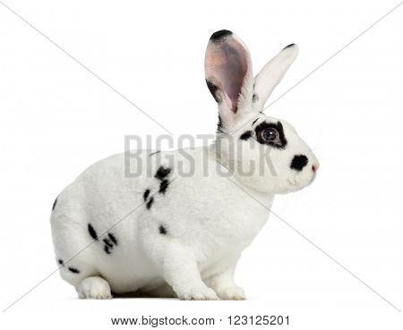 Rex Dalmatian Rabbit isolated on white