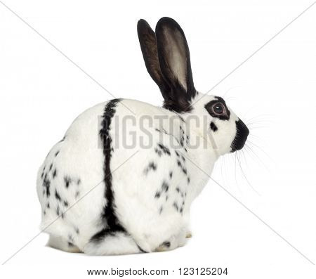 Back view of an English Spot Rabbit isolated on white