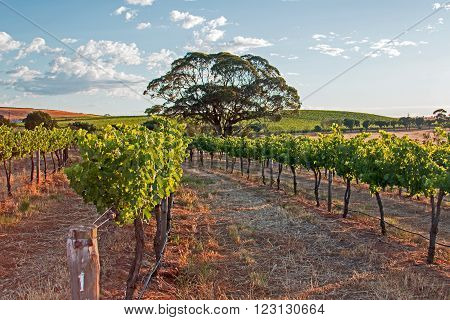 Tree in Barossa Valley Vineyard with early morning cloudy sky in South Australia AUS