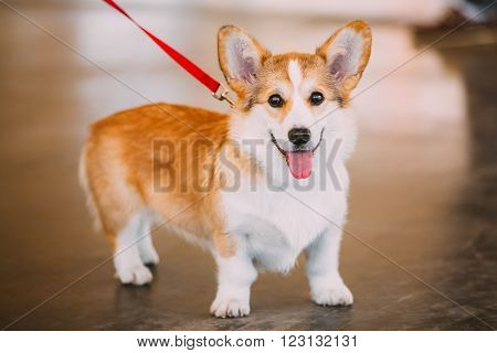Funny Happy Welsh Corgi Dog. The Welsh Corgi Is A Small Type Of Herding Dog That Originated In Wales. poster