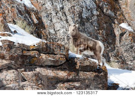 Young Bighorn Mountain Sheep outside Jackson Hole Wyoming USA walking up a rock ledge