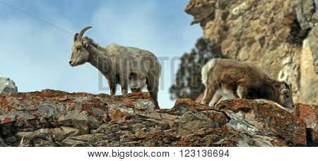 Young Bighorn Mountain Sheep outside Jackson Hole Wyoming USA in the Central Rocky Mountains