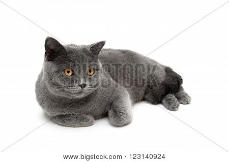 cat with yellow eyes lying on a white background. horizontal photo.