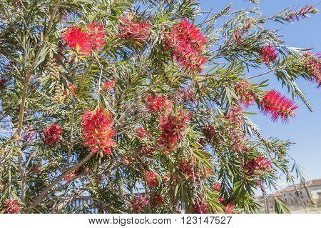 Callistemon citrinus Melaleuca citrina - lemon bottlebrush crimson