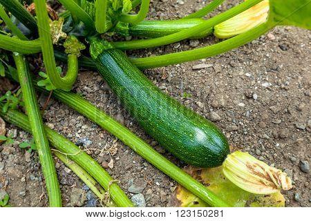 Green Zucchinies