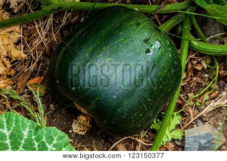Baby green Pumpkin on the soil background