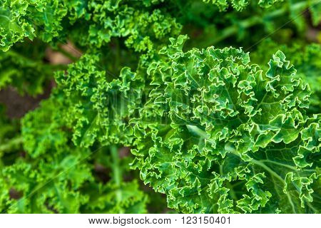 Composition of bunches of kale on a soil background