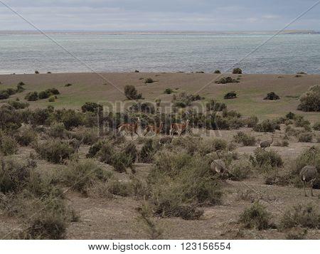 Herd of wild Patagonian Lama Guanaco (Lama guanicoe). Seen at Punta Tombo Argentina with Magelanic Penguins.
