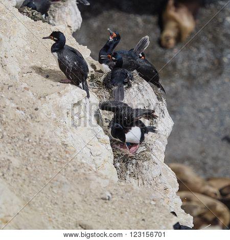 Rock Shag (Phalacrocorax magellanicus) or Magellanic Cormorant colony ** Note: Visible grain at 100%, best at smaller sizes