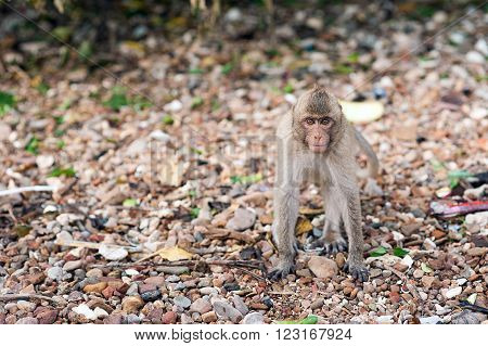 Monkey waiting for and looking for chance to stolen food in an island of andaman sea , thailand. Lipe island.