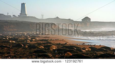Elephant Seals at nursery on Point Piedras Blancas at San Simeon California USA beach with lighthouse in the background