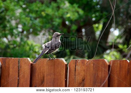 A grey and white catbird is perched on a reddish wooden fence in springtime.