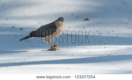 With talons locked onto a fresh kill of prey, an adult Cooper's Hawk (Accipiter cooperii), looks around after a successful hunt,  Pine Siskin finch for lunch.  Wildlife drama on spring corn snow.