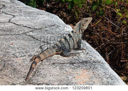 Lesser Antillean Iguana on the small Mexican island called Isla Mujeres (Island of the Women) across the bay from Cancun Mexico