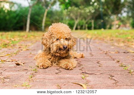 Tired poodle dog with straw in mouth laying flat to ground resting after exercising in park