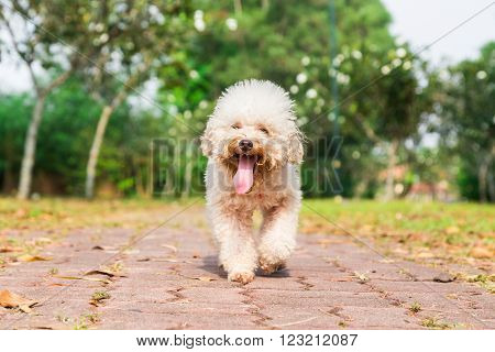 Tired poodle dog with long tongue and heavy breathing resting after exercise at park