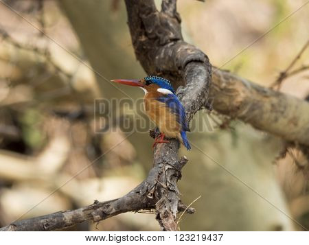 kingfisher in the branch of a tree