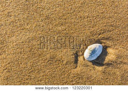 Shell bivalve molluscs on the golden sand.