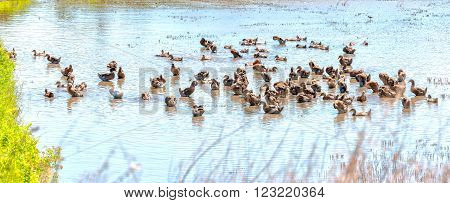 Ducks resting the lake with hundreds of ducks are preening, a cold shower, the flooded fields in the beautiful sunshine, this is the common domestic species in rural Vietnam