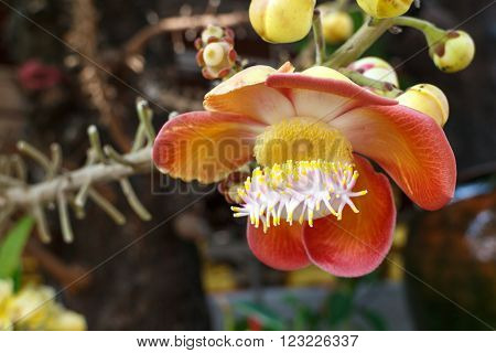 cannon Ball Tree Sal Tree Sal of India Couroupita guianensis Aubl. The plant in Buddhism history.