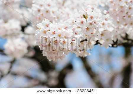 Sakura Or Cherry Blossom Flower